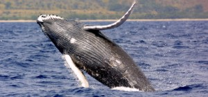 See Humpback whales in Hawaii